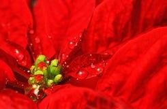 Poinsettia rosso con le goccioline di acqua Fotografie Stock Libere da Diritti