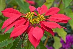 Poinsettia rouge Photographie stock libre de droits