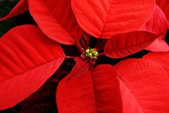 Poinsettia rouge Photo libre de droits