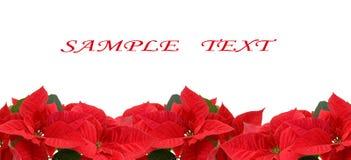 Poinsettia rouge Photo libre de droits