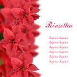 Poinsettia rouge Photos libres de droits