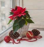 Poinsettia rouge (cônes de pulcherrima et de pin d'euphorbe photographie stock