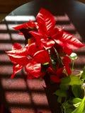 Poinsettia rouge, fleur de Noël Images libres de droits
