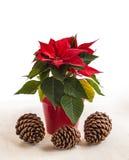 Poinsettia rouge (pulcherrima d'euphorbe et trois cônes de pin Photographie stock