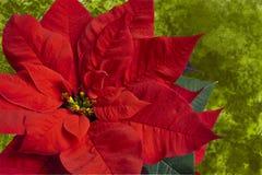 Poinsettia rouge sur le vert Images libres de droits