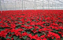Poinsettia in serra fotografia stock