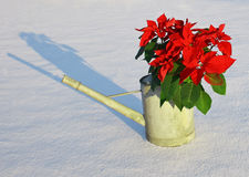 Poinsettia in snow. Poinsettia in old fashioned watering can stock photos
