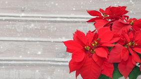 Poinsettia and snow. Christmas flower on wooden background Stock Image