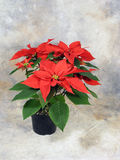 Poinsettia Still Life Royalty Free Stock Images