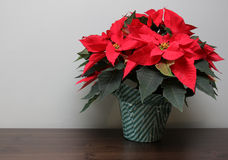 Poinsettia on a Table Stock Photography