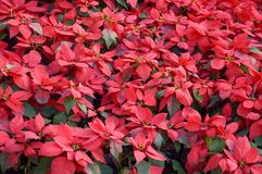 Poinsettia tree. In nature garden royalty free stock photography