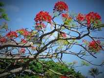 Poinsettia tropical tree in Hawaii. Poinsettia tree with flowers in Hawaii Royalty Free Stock Photo