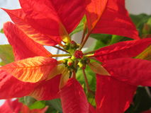 Poinsettia. Unopened buds poinsettia, with red leaves that are gaining its color before Christmas Stock Images