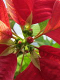 Poinsettia. Unopened buds poinsettia, with red leaves that are gaining its color before Christmas Royalty Free Stock Images