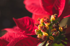 Poinsettia up close. Macro image of a red poinsettia royalty free stock photos