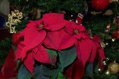 Poinsettia-Weihnachten blühte Anlage vor beleuchtetem Weihnachtsbaum Stockbild