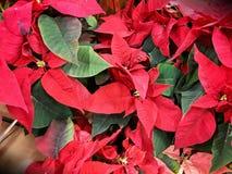 Poinsettia-Weihnachtsanzeige Lizenzfreie Stockfotos