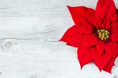 Poinsettia-Weihnachtsblume Stockfotografie