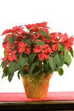 Poinsettia on White. Photo of a beautiful poinsettia on white background stock photo