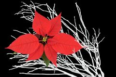Poinsettia and white branches. Royalty Free Stock Image