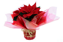Poinsettia, wrapped as Xmas present Stock Images