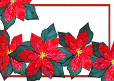 Poinsettia xmas Stock Images