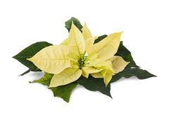 Poinsettia. Yellow poinsettia flower (christmas star) isolated on a white background royalty free stock photo