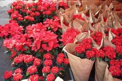 Poinsettiaanlagen und -blumen in einem Markt in Mexiko Lizenzfreie Stockfotos