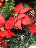 Poinsettiabloem Royalty-vrije Stock Afbeeldingen