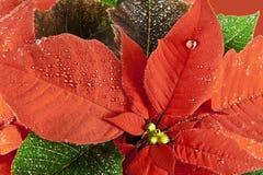 Poinsettiablume im Detail stockbild