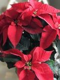 Poinsettiainstallatie Stock Afbeelding