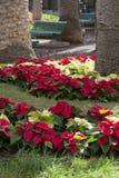 Poinsettiainstallaties Stock Foto's