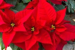 Poinsettiainstallaties in bloei als Kerstmisdecoratie Royalty-vrije Stock Foto's