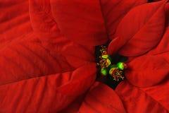 Poinsettiamakro Lizenzfreies Stockbild