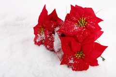 poinsettias рождества красные стоковые изображения