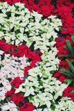 Poinsettias Stockbilder