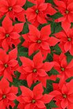 Poinsettias Photographie stock libre de droits