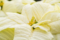 Poinsettias Royalty Free Stock Images