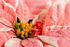 Poinsettias Royalty Free Stock Image