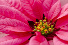 Poinsettias Stock Photos