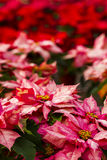 Poinsettias Stock Image