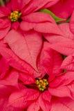 Poinsettias Stock Photos