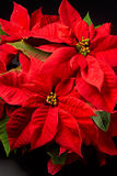 Poinsettias Fotografie Stock