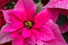 Poinsettias Stockbilder