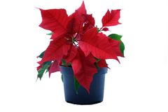 Poinsettias Stock Images