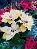POINSETTIAS. Assorted poinsettias in assorted colors royalty free stock image