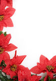 Poinsettias background over white Stock Photos