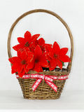 Poinsettias in the basket on white background. The poinsettia is a culturally and commercially important plant species of the diverse spurge family that is stock photo