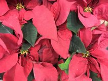 Poinsettias. Beautiful real poinsettias christmas background stock photography