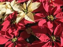 Poinsettias. Beautiful real poinsettias christmas background stock photo